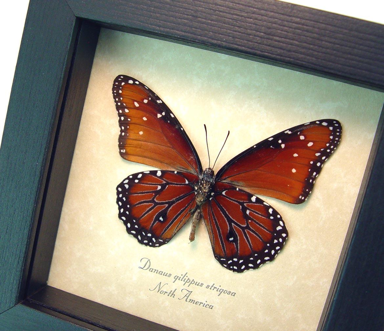 Danaus gilippus verso Real Framed Butterfly ooak