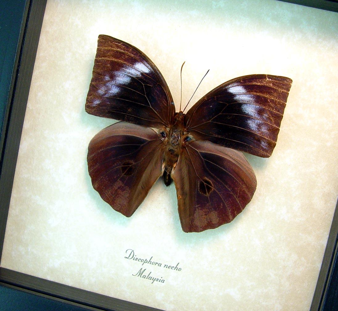 Discophora necho Muted Purple Ghost Framed Butterfly ooak