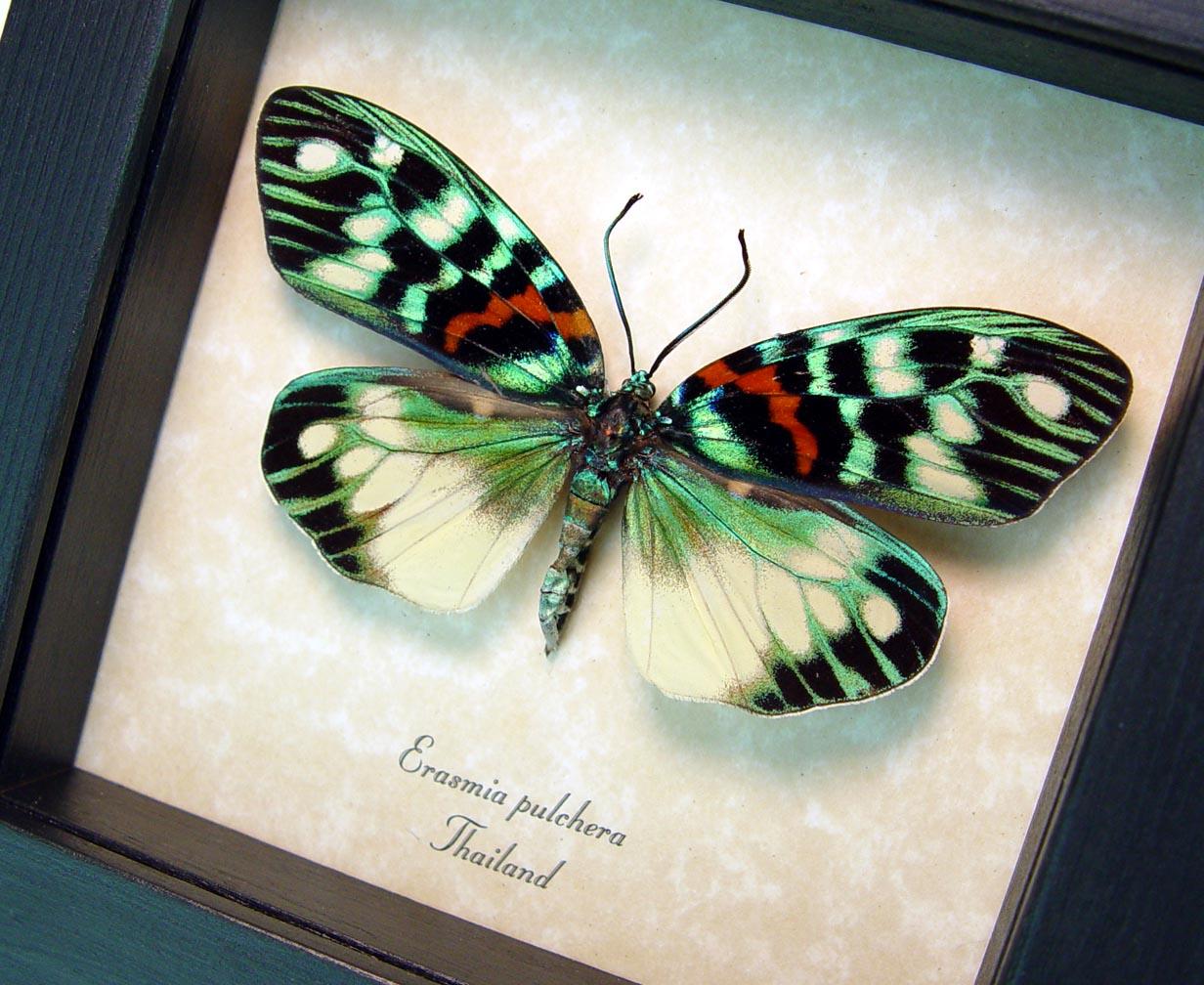 Erasmia pulchera Framed Day Flying Moth ooak