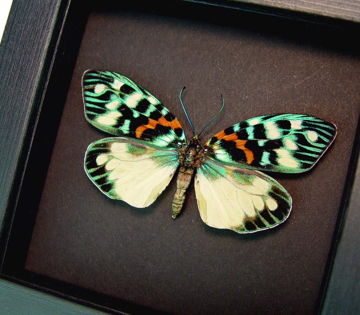 Erasmia pulchera Day Flying Moth Moonlight Display ooak