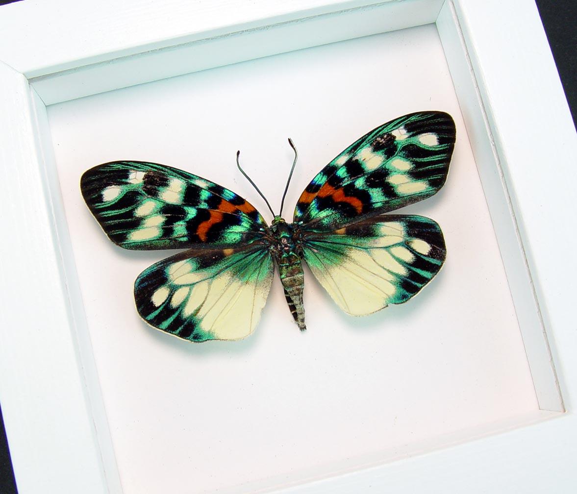 Erasmia pulchera Framed Day Flying Moth Vibrant White Display
