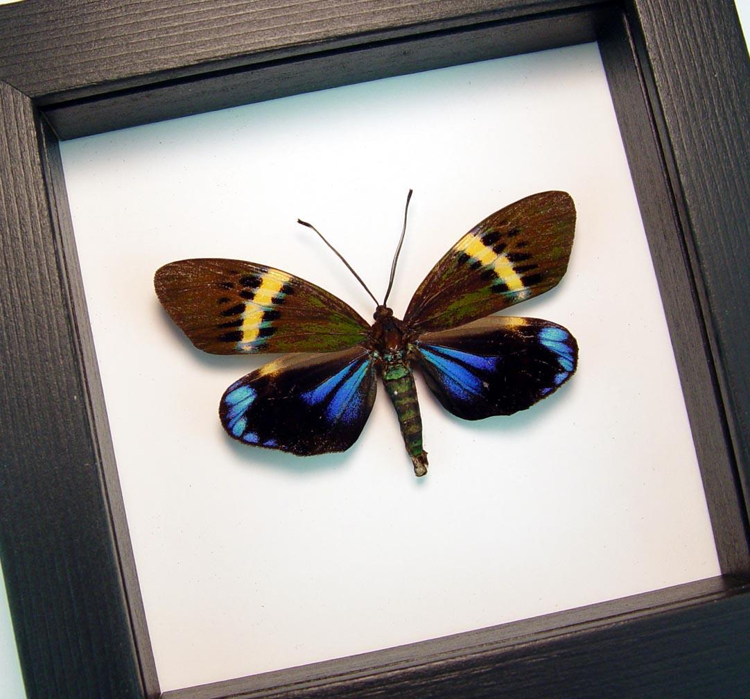 Framed Eterusia repleta Day Flying Moth Classic Black Display ooak