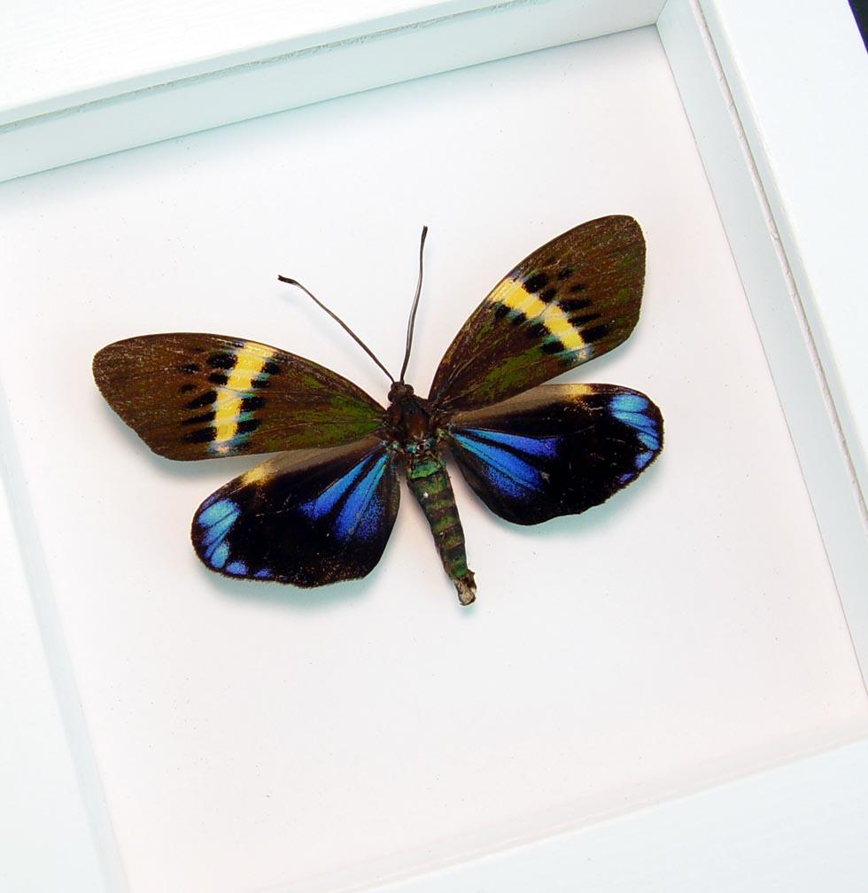 Framed Eterusia repleta Day Flying Moth Vibrant White Display