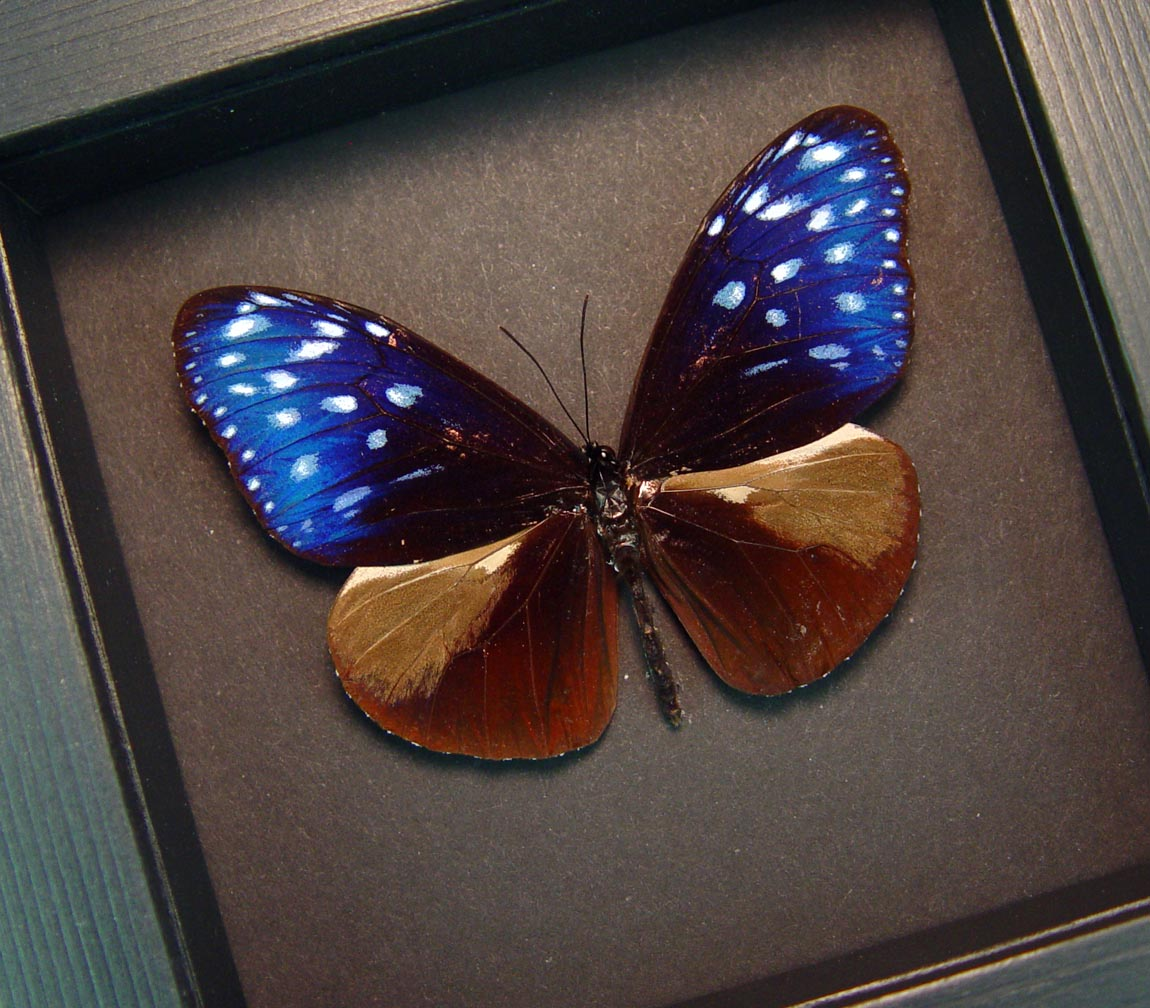 Euploea mulciber Metallic Purple Butterfly Moonlight Display ooak