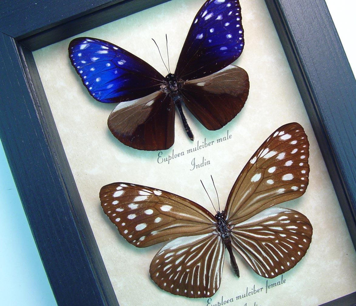 Euploea mulciber Pair Purple Framed Butterfly Striped Blue Crow ooak