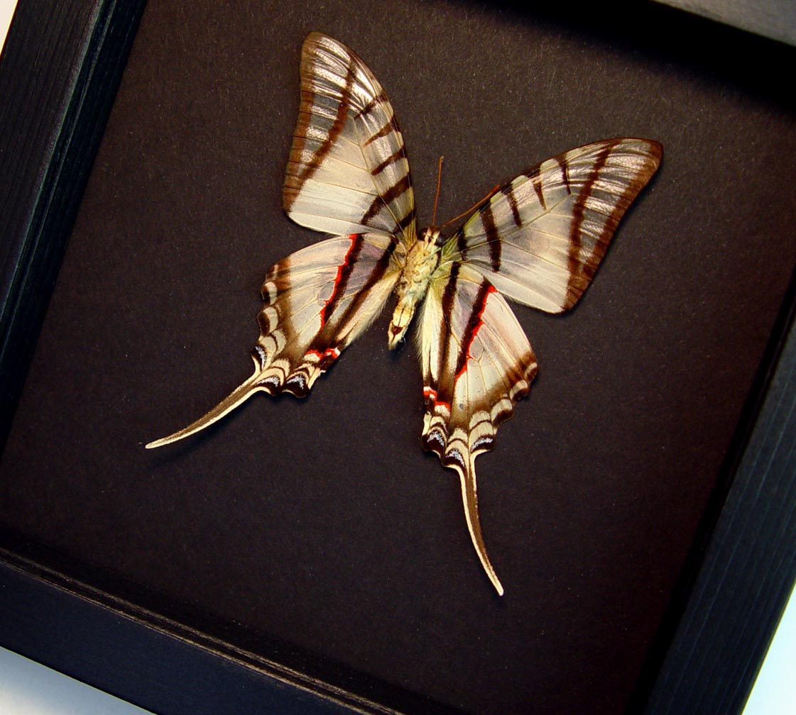 Eurytides Protesilaus Verso Framed Zebra Swallowtail Butterfly Moonlight Display ooak