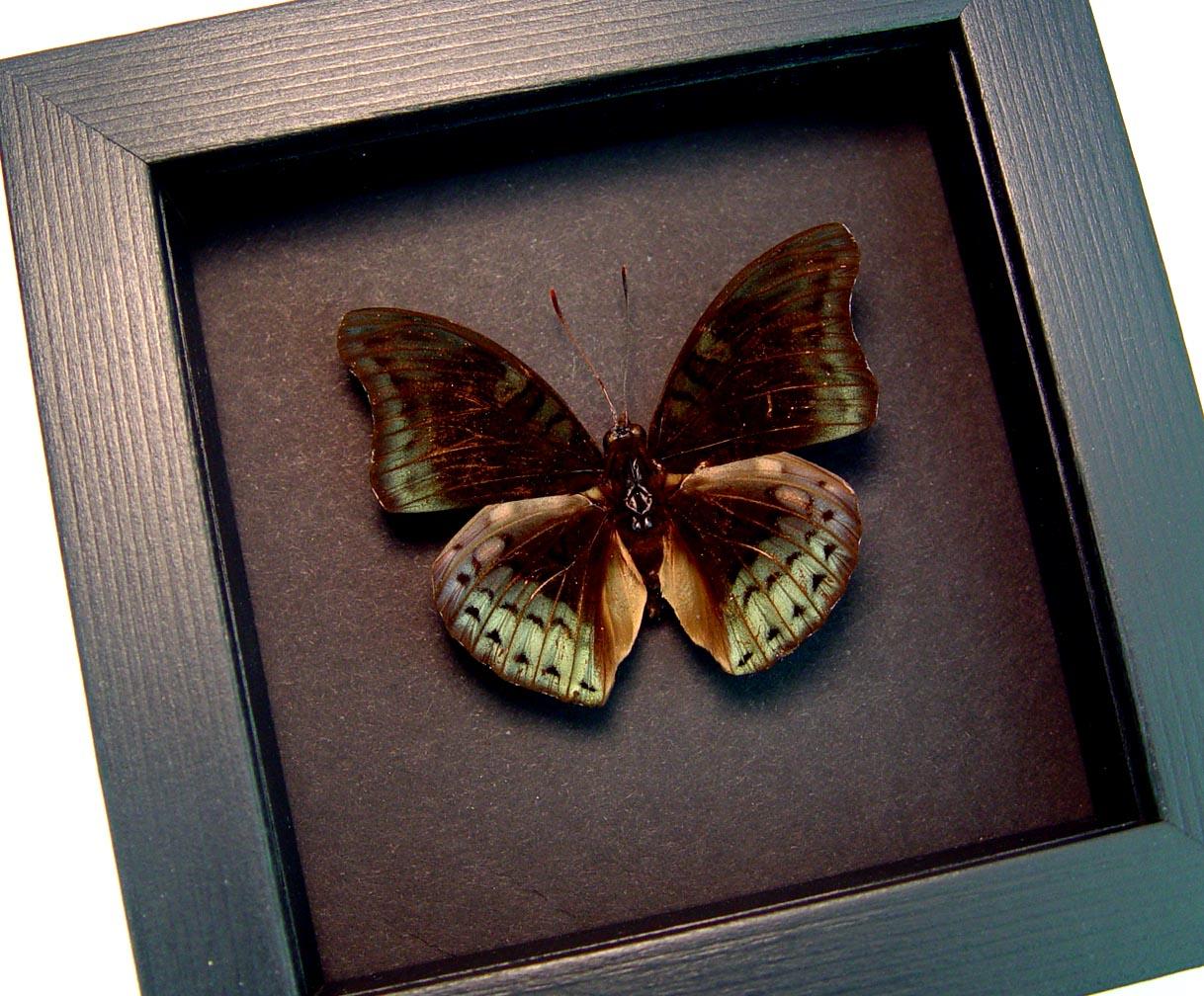 Euthalia amanda periya  Rare Green Framed Butterfly Moonlight Display ooak