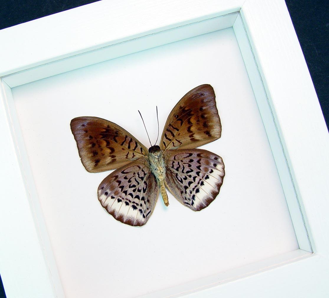 "Euthalia elone verso lavender Framed Butterfly Vibrant White Display  Species: Euthalia elone verso Native Origin: Malaysia Frame Size: 5""x5"" Frame Color: Vibrant White Display"