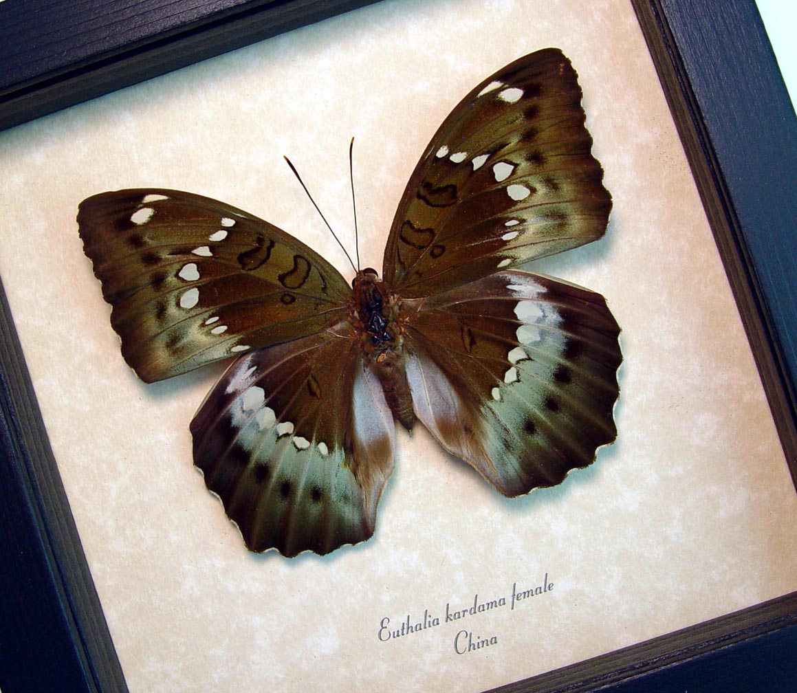 Euthalia kardama Female Rare Green Framed Butterfly Insect Display ooak
