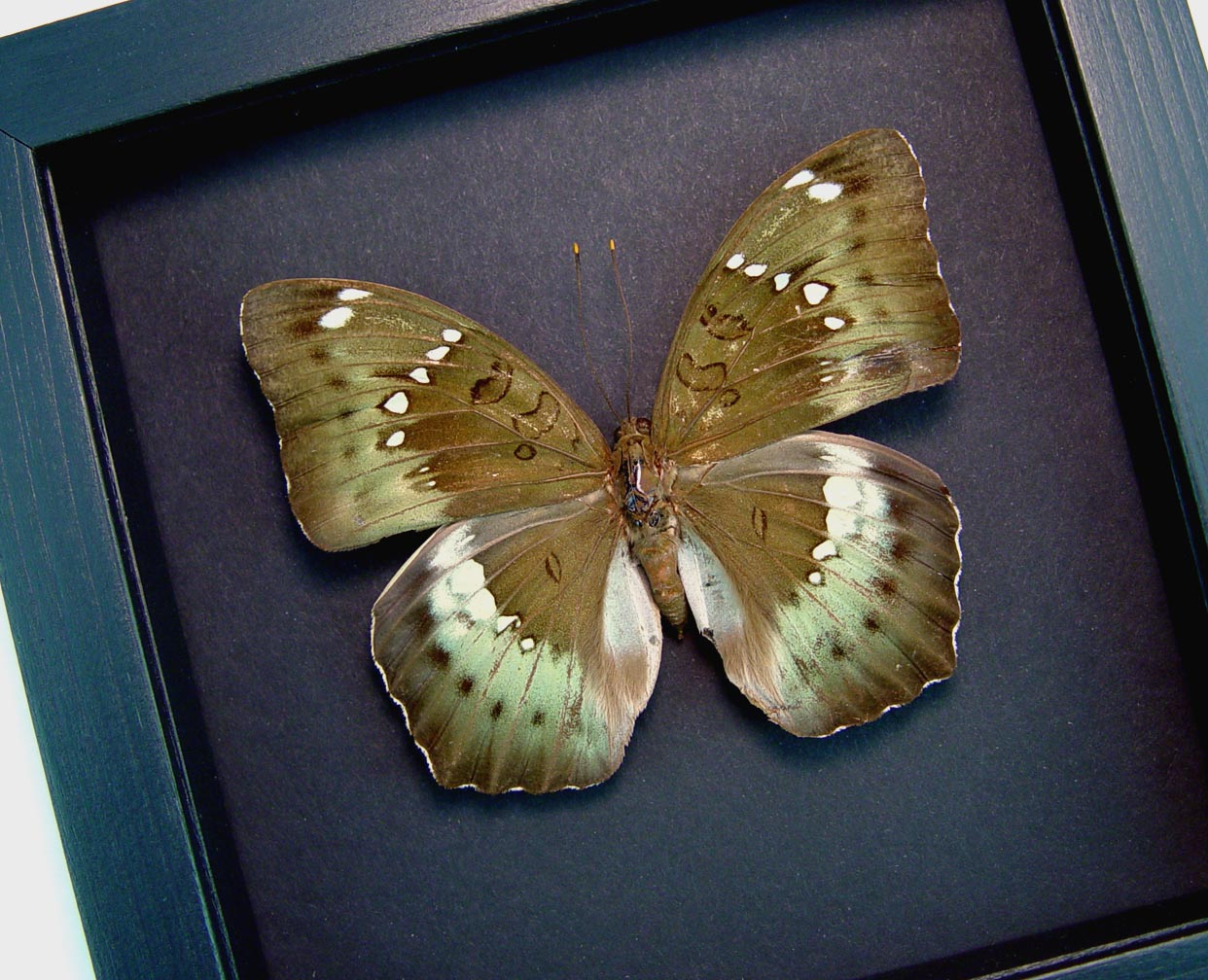 Euthalia kardama Female Rare Green Framed Butterfly Moonlight Display ooak