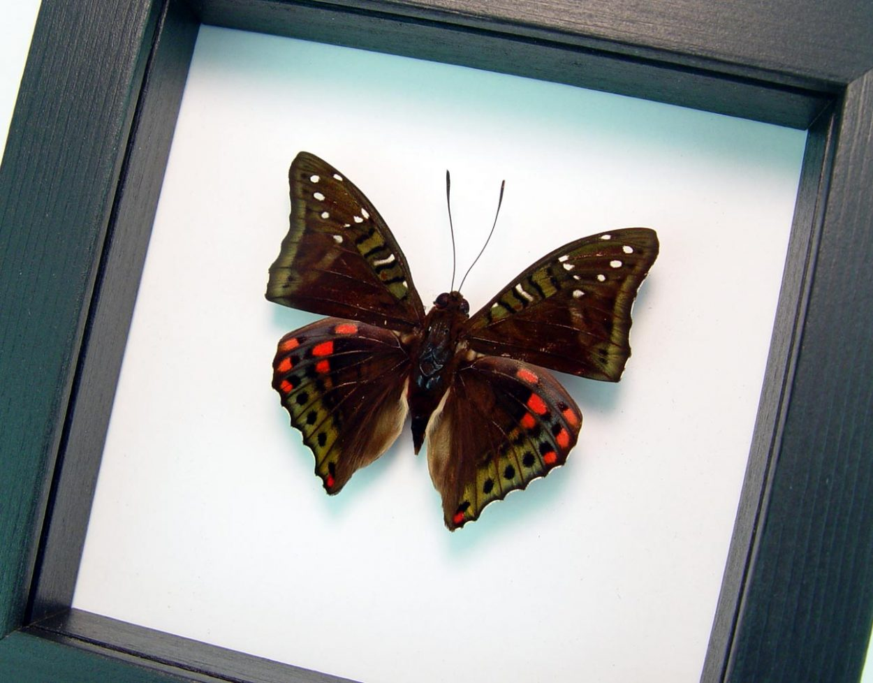 Euthalia malaccana Green Red Framed Butterfly Fruhstorfer's baron Classic Black Display ooak