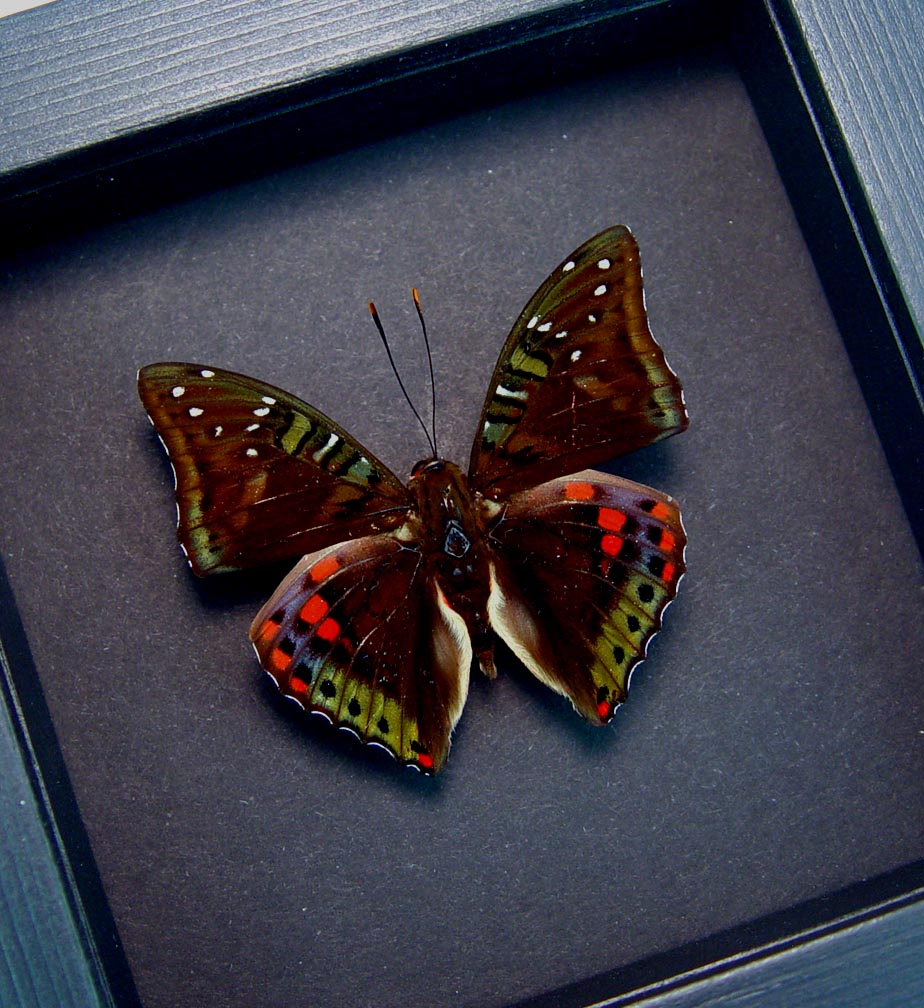 Euthalia malaccana Green Red Framed Butterfly Fruhstorfer's baron Moonlight Display ooak