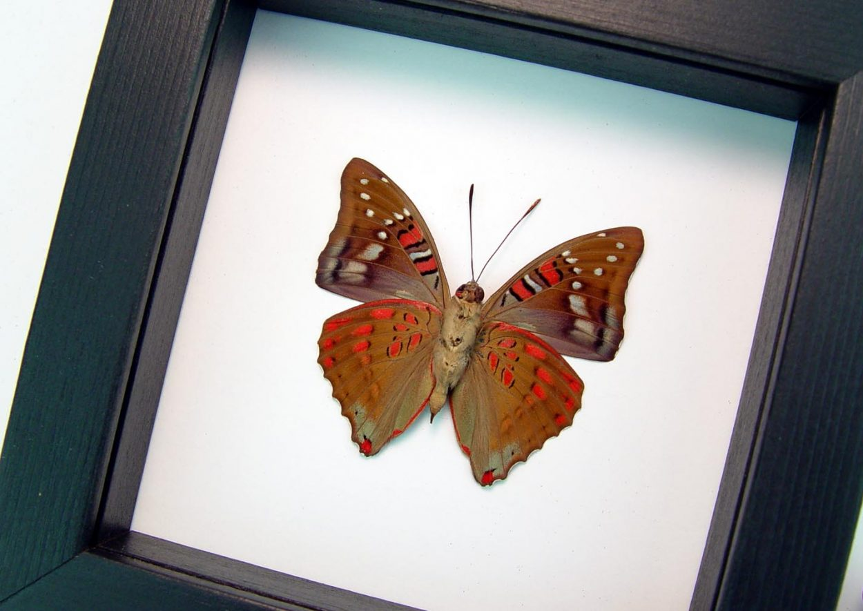 Euthalia malaccana Verso Red Framed Butterfly Fruhstorfer's baron Classic Black Display ooak