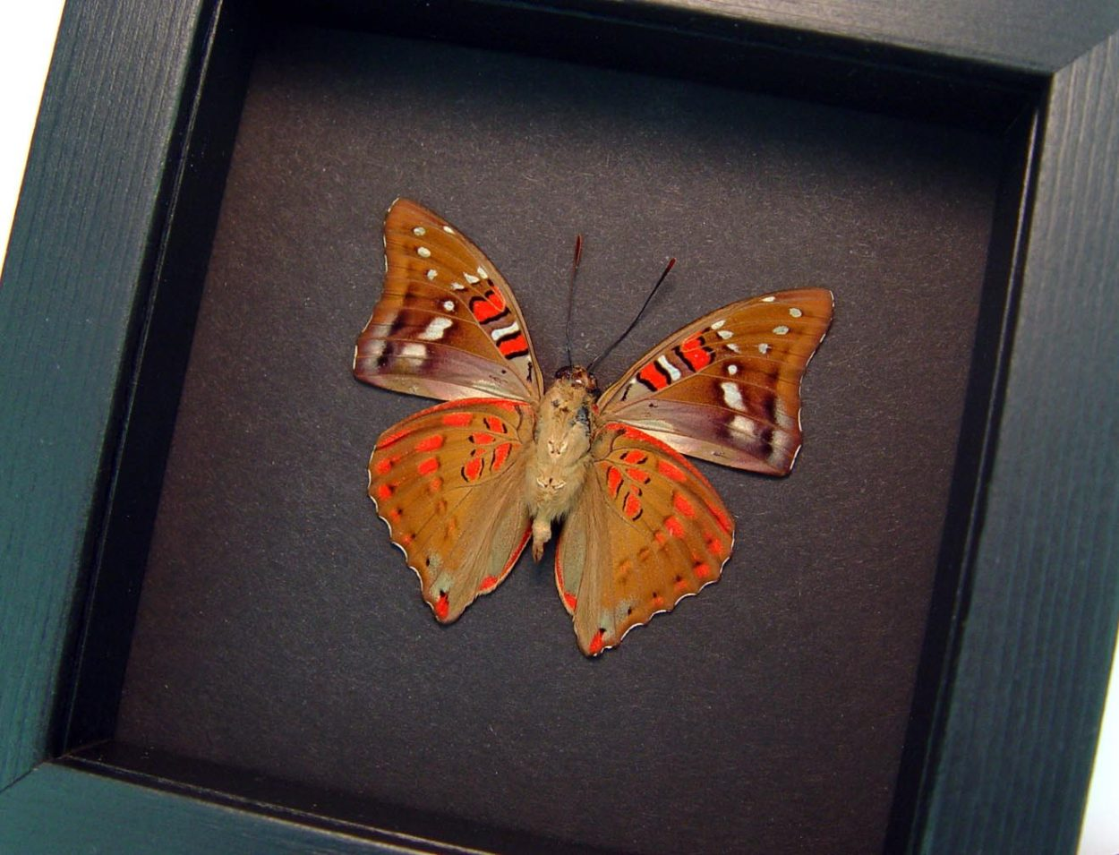 Euthalia malaccana Verso Red Framed Butterfly Fruhstorfer's baron Moonlight Display ooak