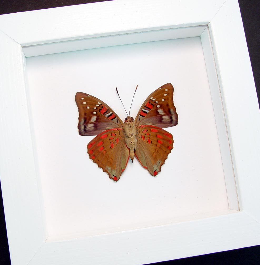 Euthalia malaccana Verso Red Framed Butterfly Fruhstorfer's baron Vibrant White Display