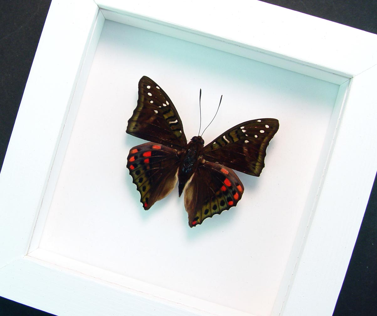 Euthalia malaccana Green Red Framed Butterfly Fruhstorfer's baron Vibrant White Display