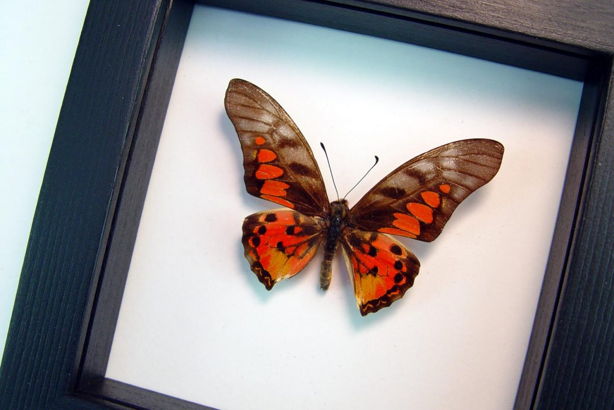 Graphium rydleyanus Red Framed African Butterfly Classic Black Display ooak
