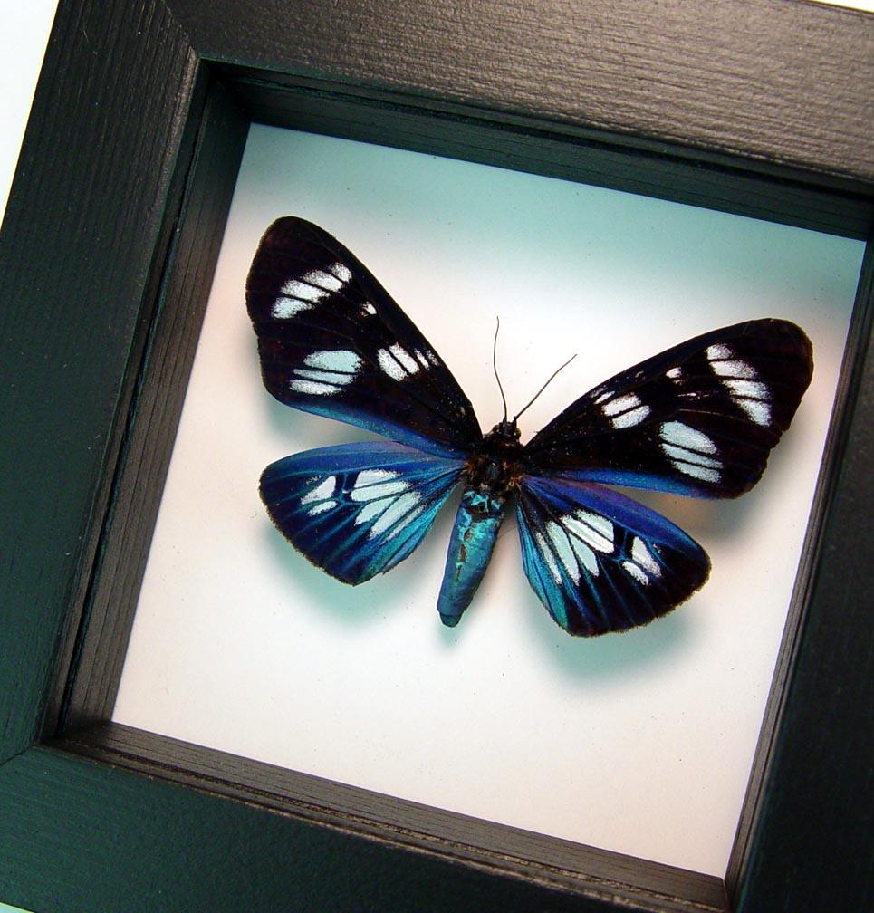 Hypocrita plagifera Blue Day Flying Moth Classic Black Display ooak