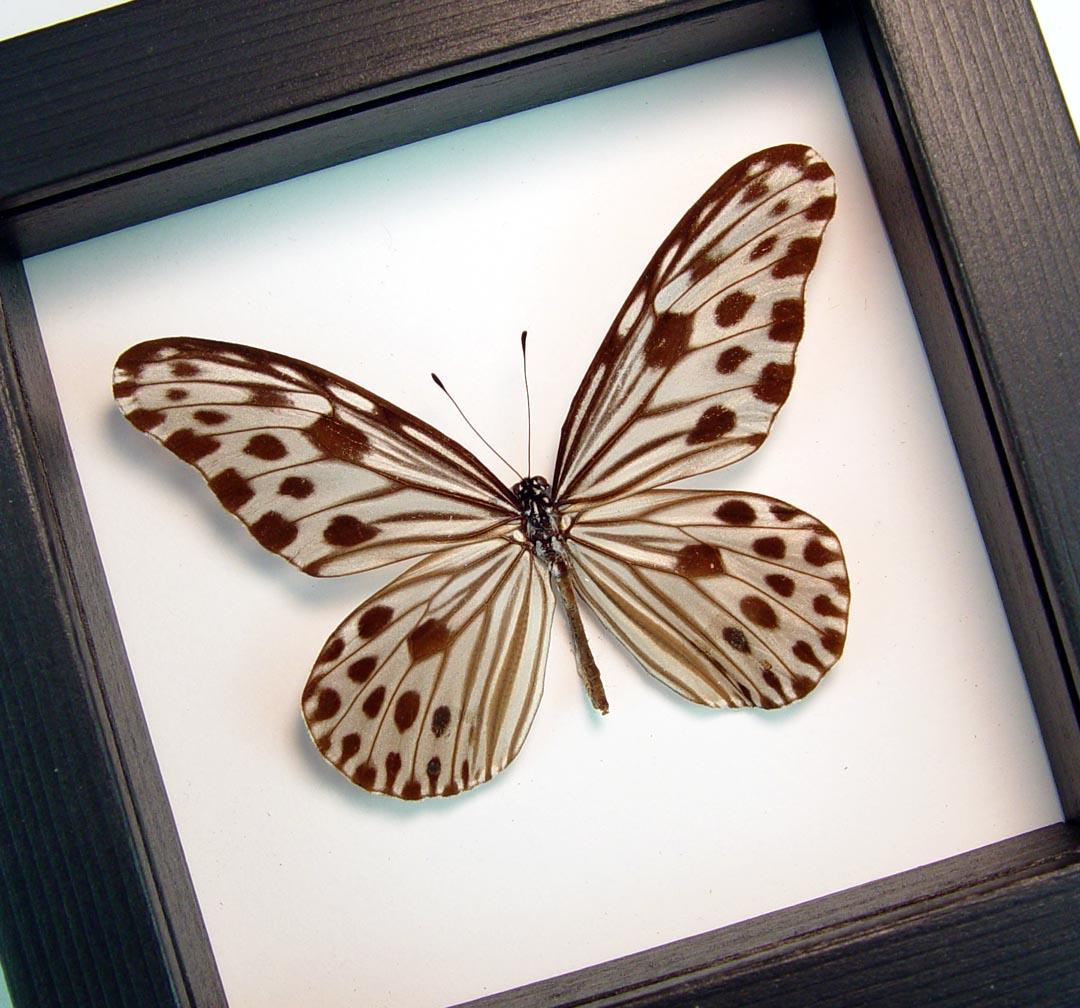 Ideopsis Gaura Perakana Female Framed Wood Nymph Butterfly Classic Black Display ooak