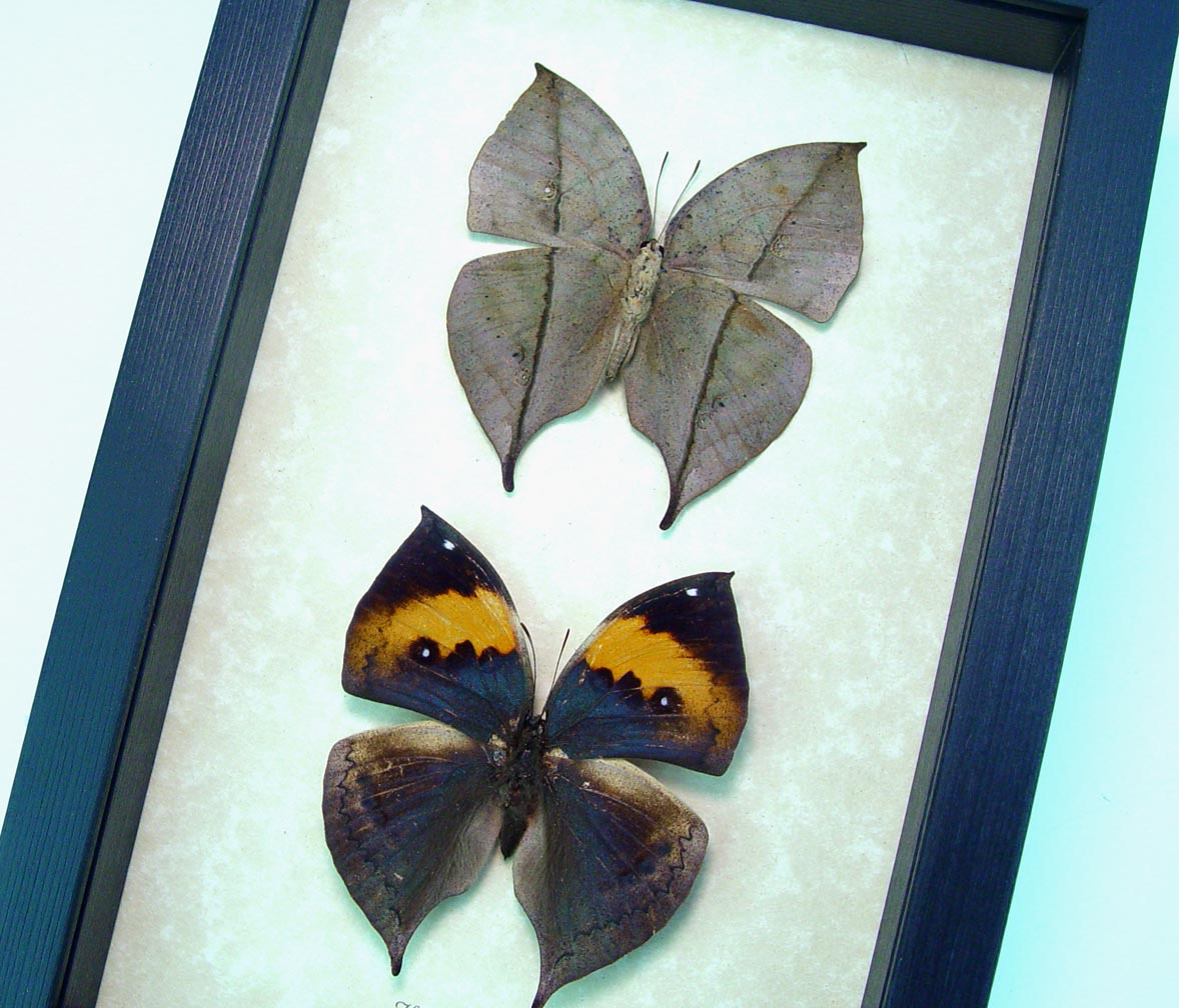 Kallima inachus Set Purple Dead Leaf Mimic Framed Butterflies ooak