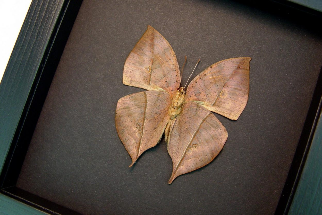 Kallima inachus verso Dead Leaf Mimic Butterfly Framed Insect Moonlight Display OOAK
