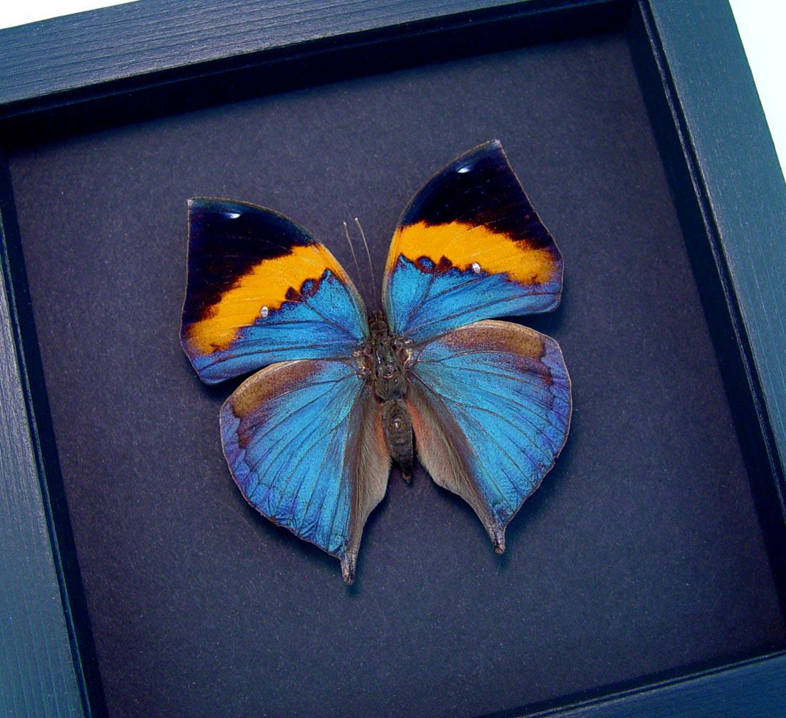 Kallima paralekta Indian Leafwing Purple Leaf Mimic Butterfly Moonlight Display ooak