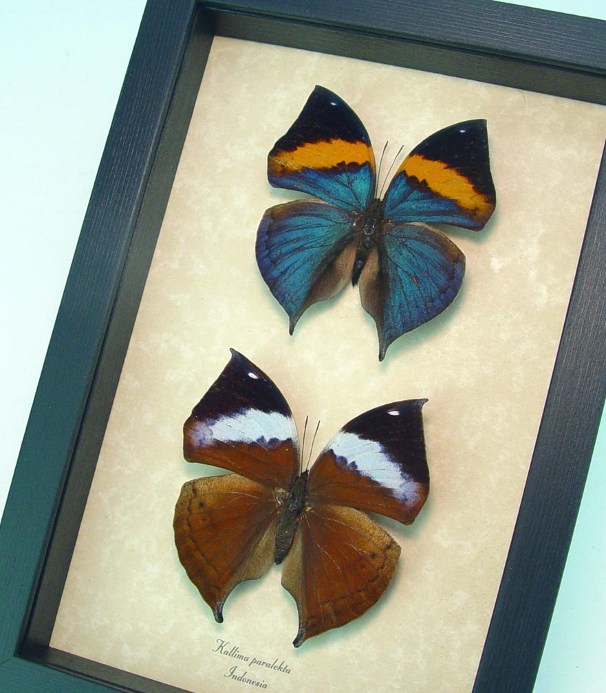 Kallima paralekta Pair Indian Leafwing Purple Leaf Mimic Butterflies Framed Butterfly ooak  OOAK One Of A Kind Item-The set pictured is the actual set You will receive! Specimen sizes: 71mm & 75mm Wingspans  Species: Kallima paralekta pair