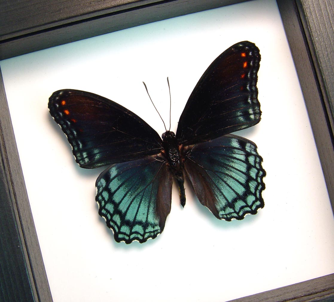 Limenitis Astyanax Male Framed Red Spotted Purple Classic Black Display ooak