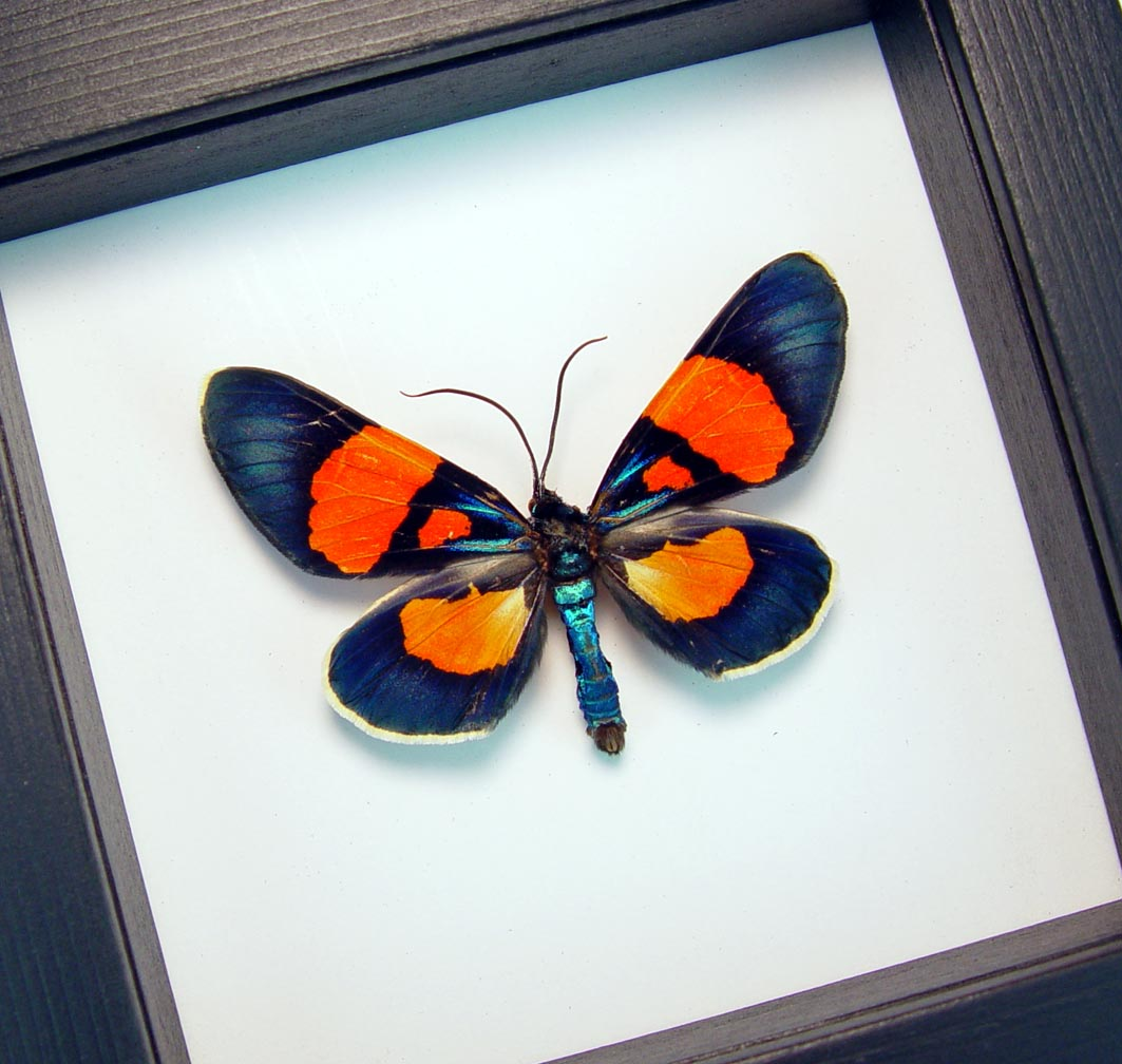 Milionia celebensis Framed Day Flying Moth Classic Black Display ooak