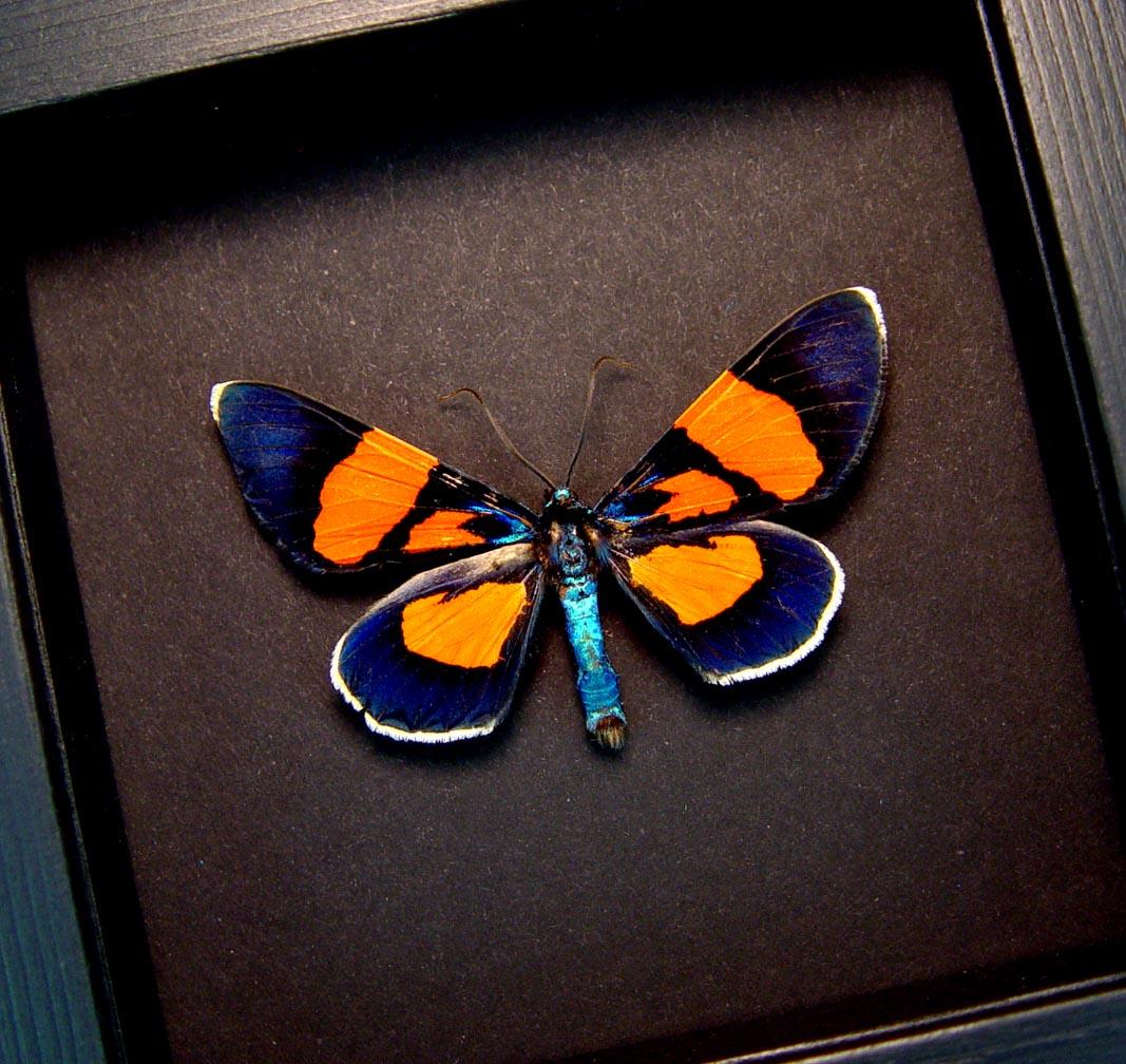 Milionia celebensis Day Flying Moth Framed Orange Blue Moth Moonlight Display ooak