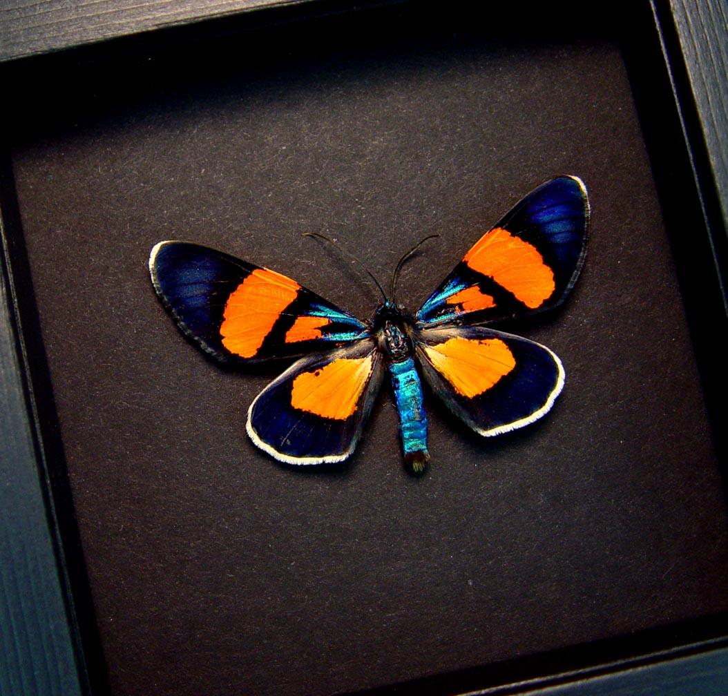 Milionia celebensis Framed Day Flying Moth Orange Blue Insect Moonlight Display ooak