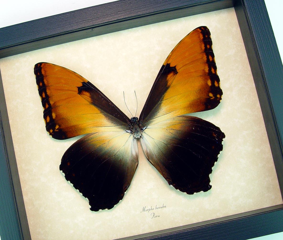 Framed Morpho Hecuba Large Sunset Morpho Butterfly ooak