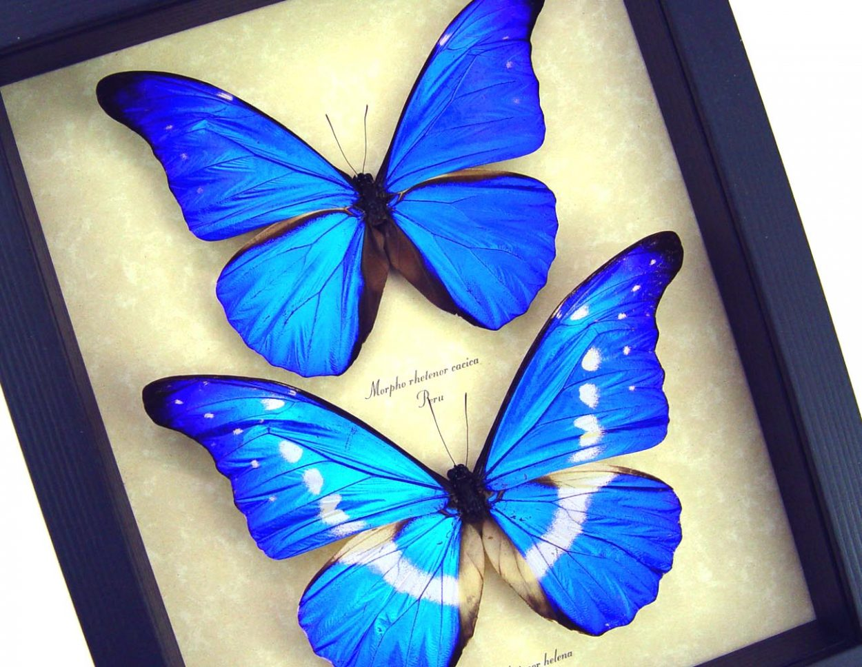Framed Blue Morpho Butterflies Rare Butterfly Set ooak