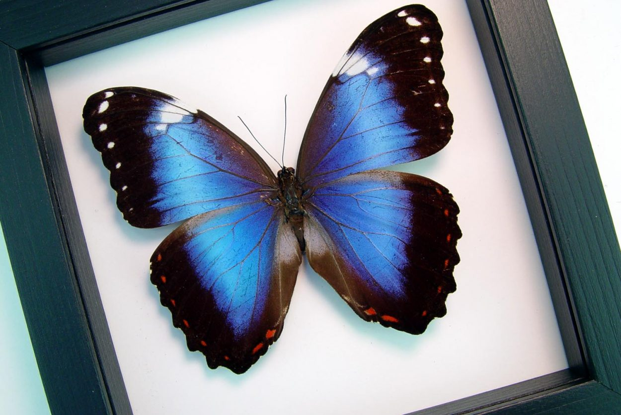 Violet Butterfly Morpho helenor violaceus Framed Insect Classic Black Display ooak