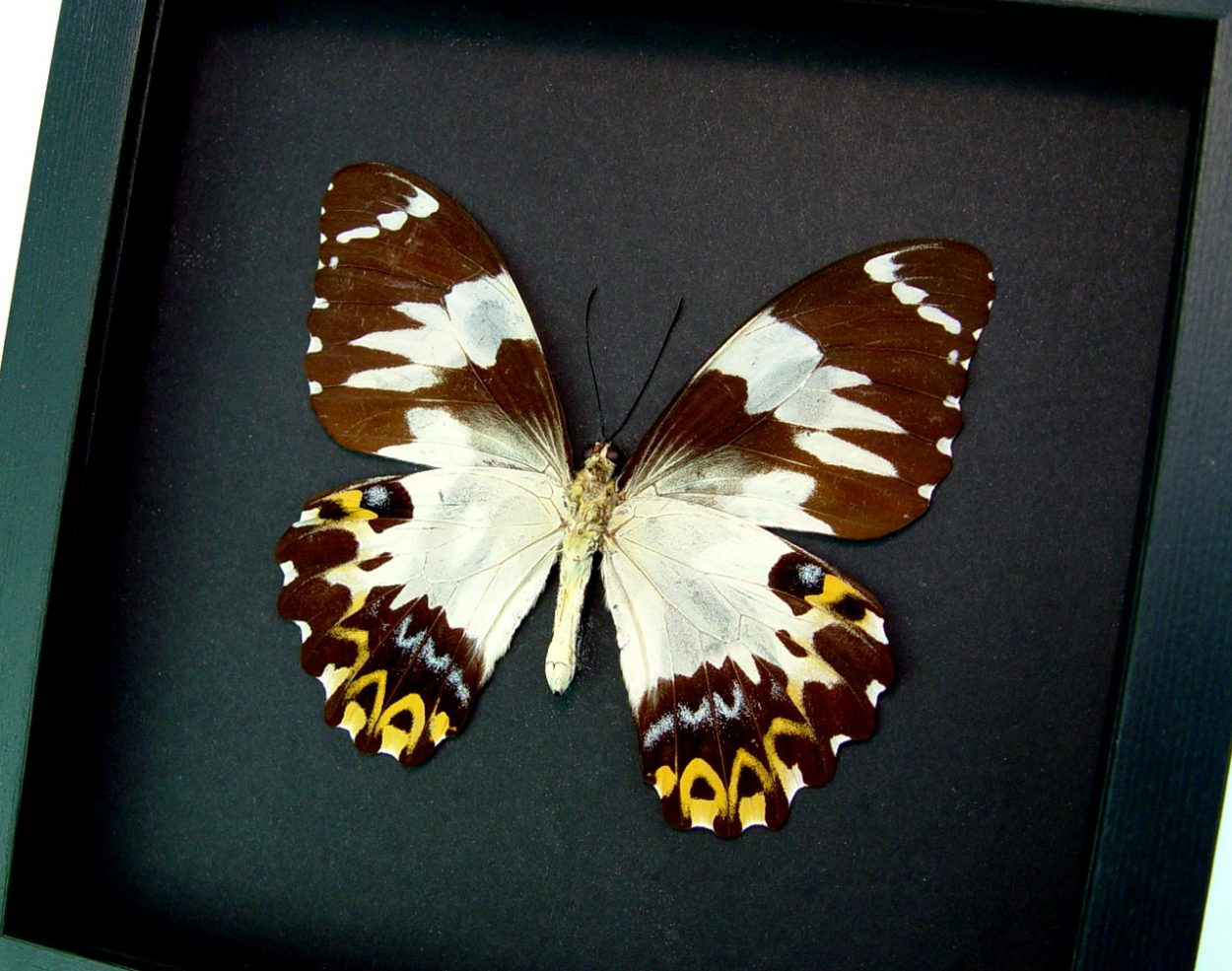 Papilio euchenor Female Verso Frilled Cream Butterfly Framed Insect Moonlight Display ooak