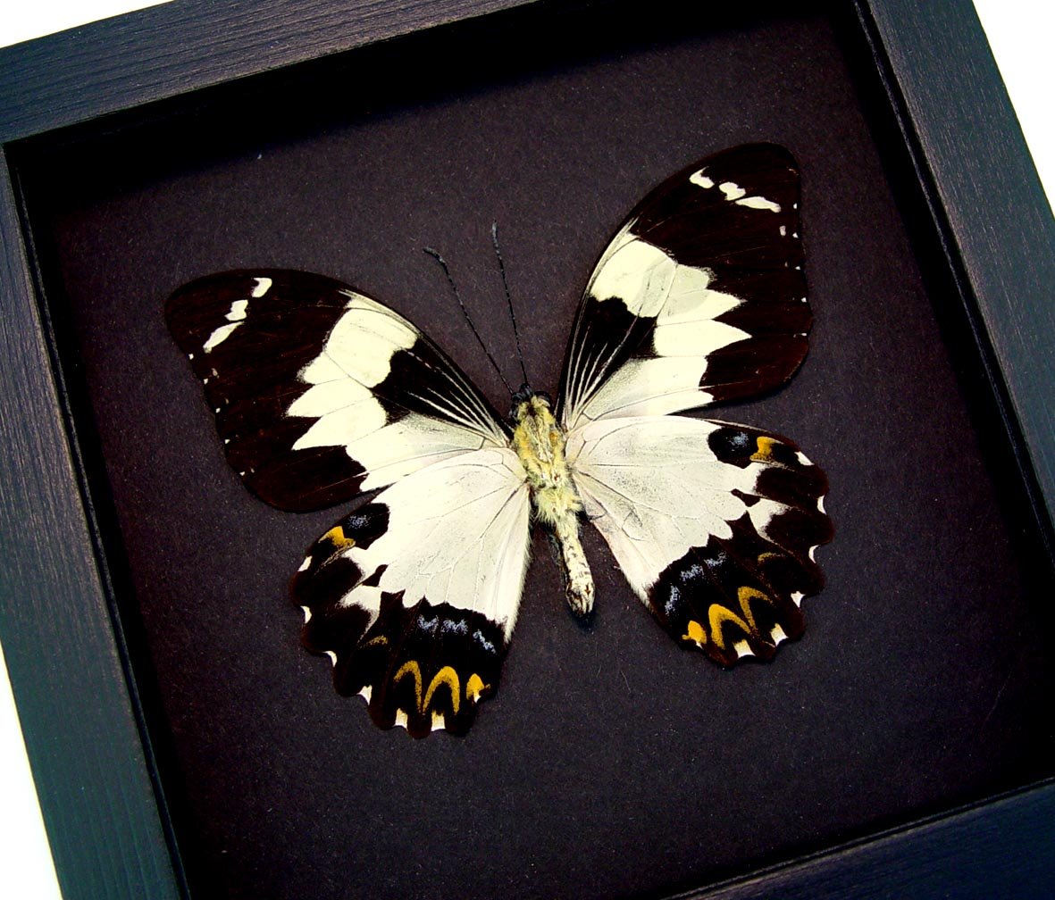 Papilio euchenor Verso Frilled Cream Butterfly Framed Insect Moonlight Display ooak