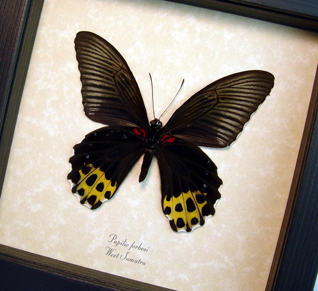 Papilio forbesi verso Black Gold Real Framed Butterfly ooak