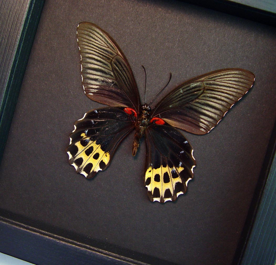 Papilio forbesi verso Black Gold Framed Butterfly Moonlight Display ooak