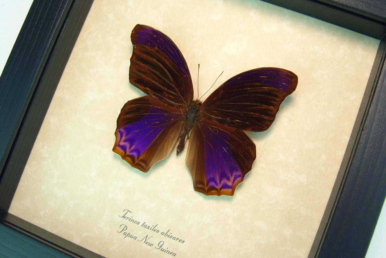 Terinos taxiles abisares Rare Purple Butterfly Framed Insect ooak