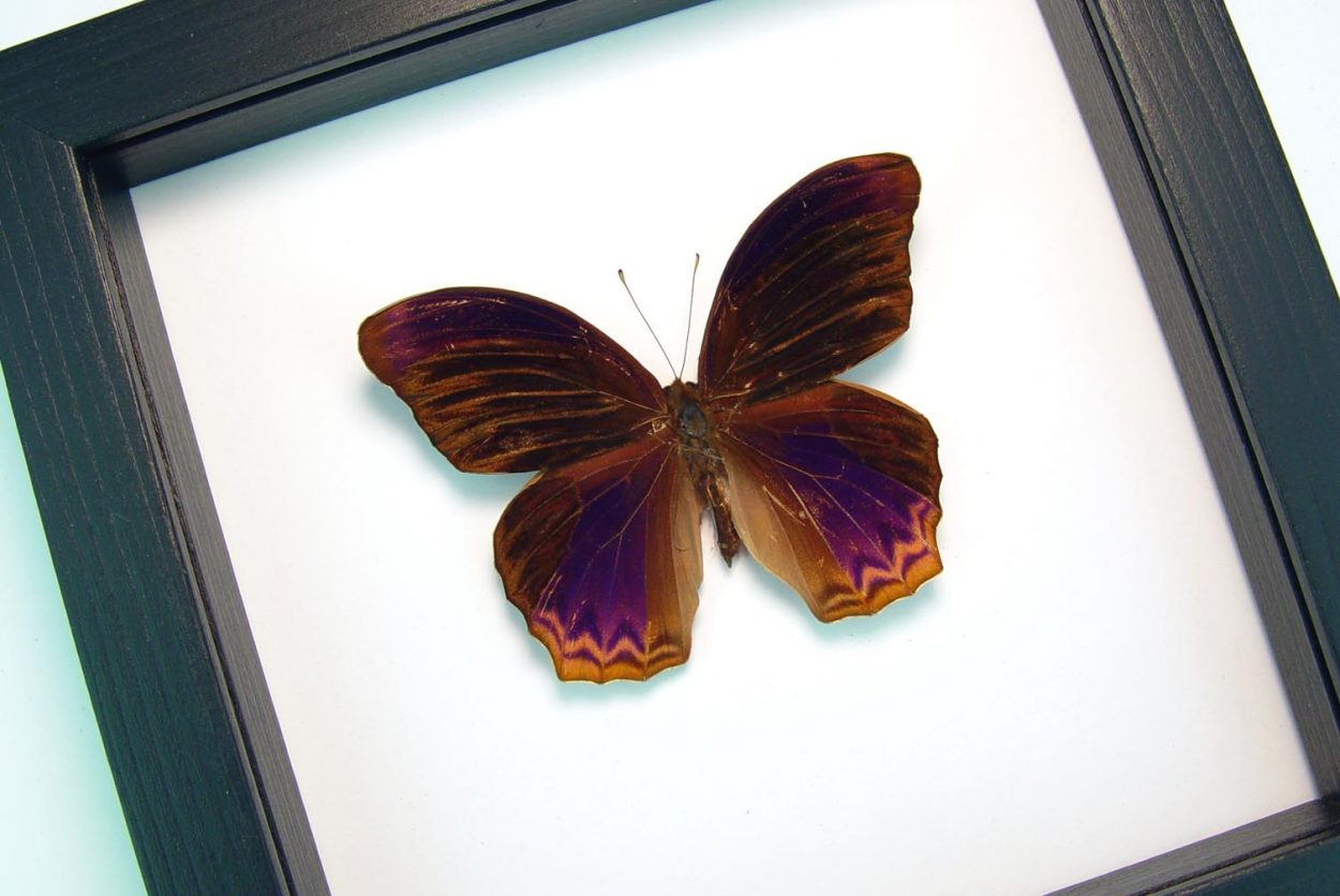 Terinos taxiles abisares Rare Purple Butterfly Framed Insect Classic Black Display ooak