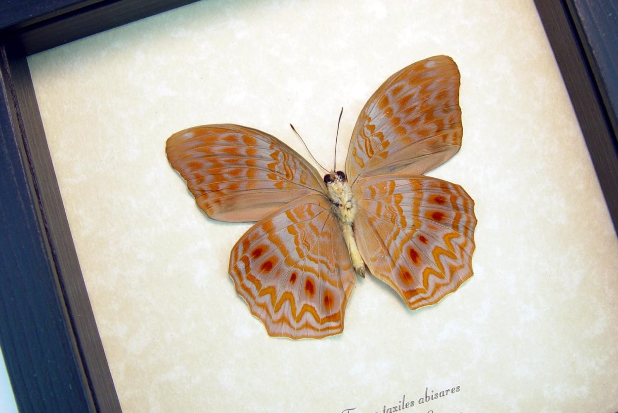 Terinos taxiles abisares verso Rare Pink Orange Butterfly Framed Insect ooak