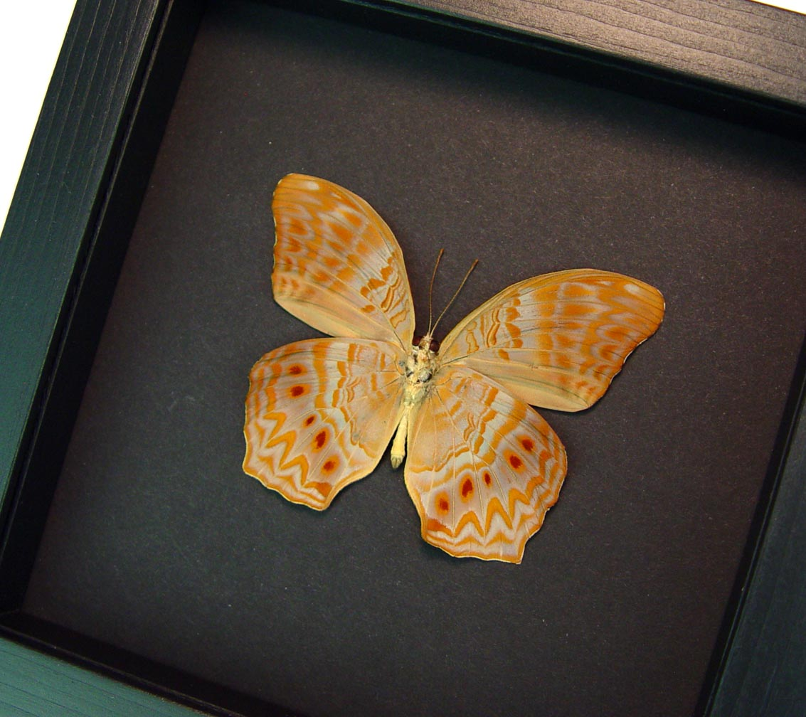 Terinos taxiles abisares verso Rare Pink Orange Butterfly Framed Insect Moonlight Display ooak