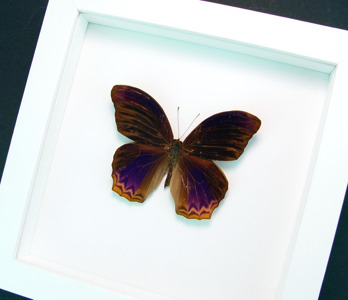 Terinos taxiles abisares Rare Purple Butterfly Framed Insect Vibrant White Display