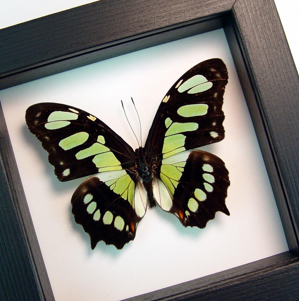 Green Malachite Butterfly Framed Victorina stelenes Classic Black Display ooak