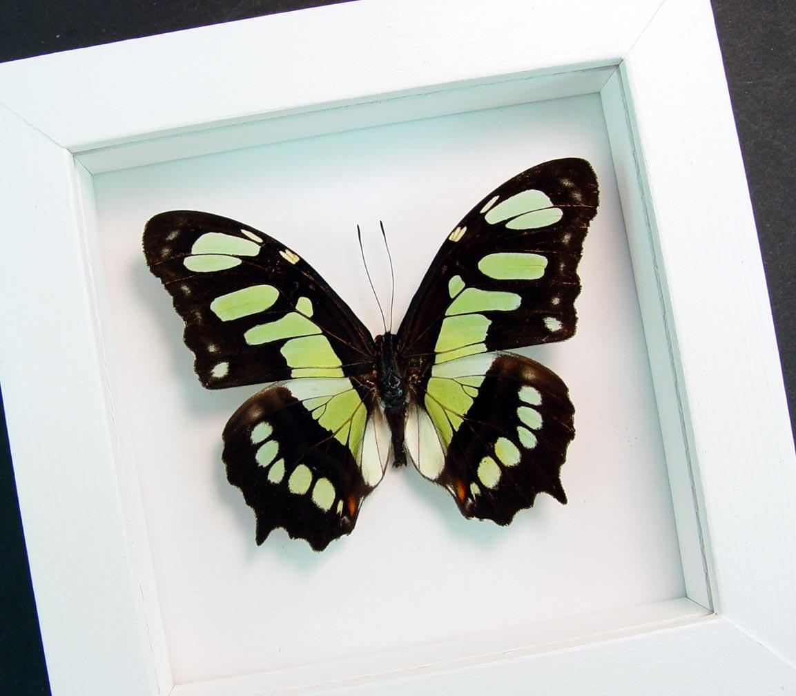 Green Malachite Butterfly Framed Victorina stelenes Vibrant White Display