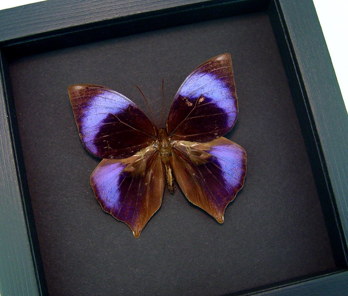 Zeuxidia doubledayi Scarce Saturn Framed Purple Teardrop Butterfly Moonlight Display ooak